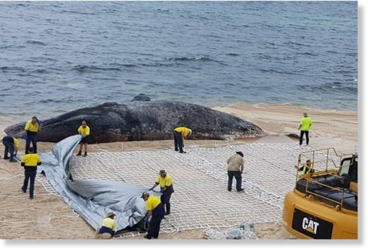 Council workers attempt to remove a whale carcass in Hopetoun.