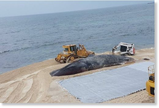 Workers managed to drag the huge carcass out of the water, before rolling it up in a tarpaulin.