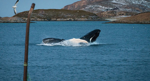 Norway whales