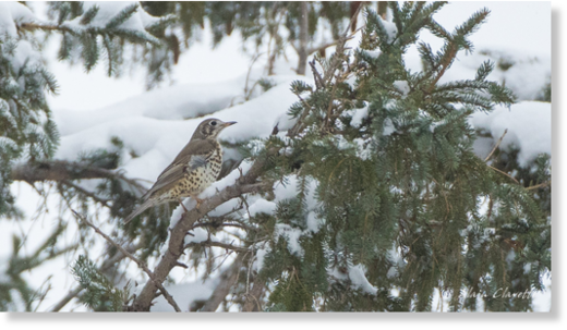This mistle thrush has been a hot topic for bird lovers from the Maritimes and the United States.