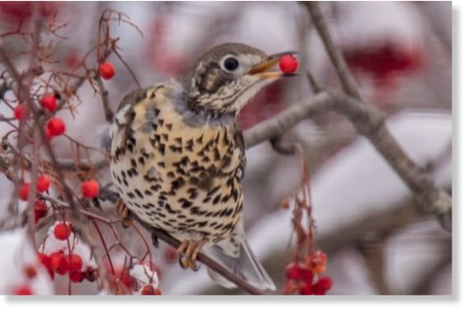 A mistle thrush landed on a Miramichi lawn over the weekend and has been feeding on nearby berries.