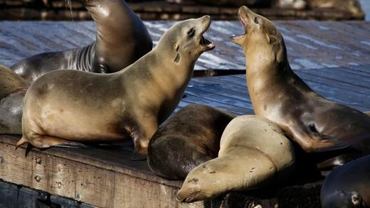 sea lions bark at each other at Pier 39 in San Francisco