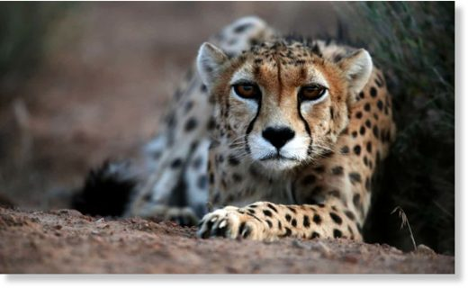 A 7-year-old male Asiatic cheetah. The carnivore has disappeared across south and central Asia and is on the brink of extinction