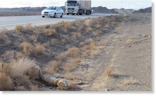 A cheetah lies dead on the side of the road in Iran. Many animals are killed, despite signs warning drivers
