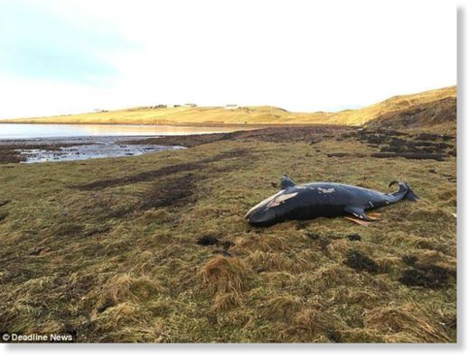 The whale is believed to have died of dehydration or was crushed by its own body weight after becoming stranded. It was found at least 25 metres from the shoreline