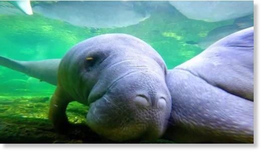 Manatees endure another deadly year