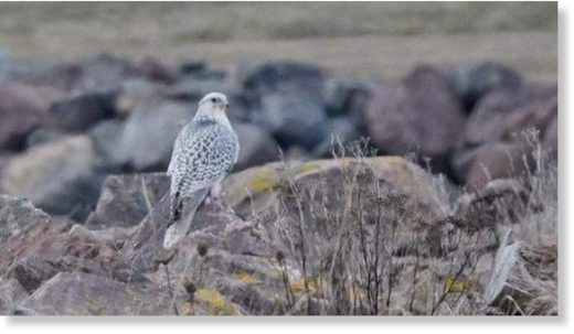 This gyrfalcon eats seagulls and duck.