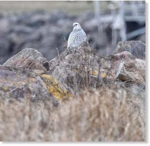 This rarely seen white morph gyrfalcon is the largest known falcon in the world.