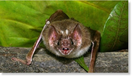 An image of a vampire bat.