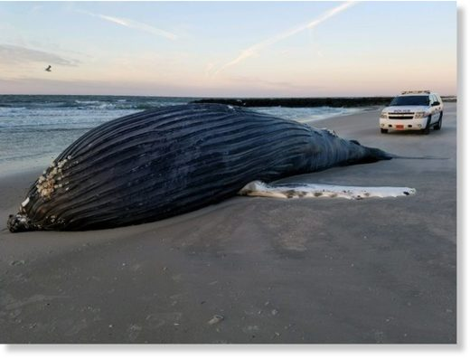 A dead humpback whale washed ashore in Atlantic Beach, Long Island, was reported to police on Dec. 26, 2017.
