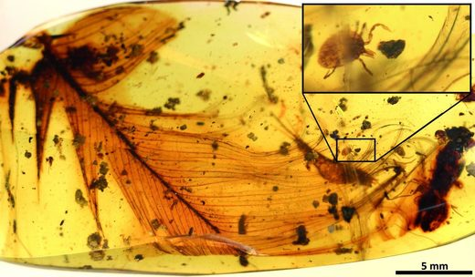 Hard tick grasping a dinosaur feather preserved in 99 million-year-old Burmese amber. Modified from the open access article published in Nature Communications: 'Ticks parasitised feathered dinosaurs as revealed by Cretaceous amber assemblages.'