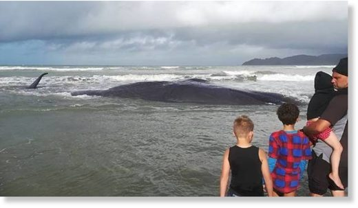 A family watch a dying whale, after it was stranded on Mahia Beach on Saturday morning.