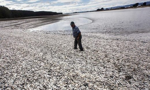 Dead sardines in Chile