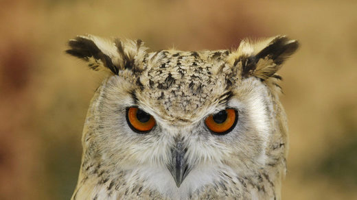 Barred or Great Horned owl