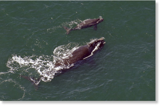 In this 2009 file photo, a female right whale swims at the surface of the water with her calf a few miles off the Georgia coast in 2009.