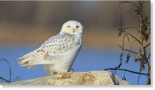 This snowy owl was photographed while alive
