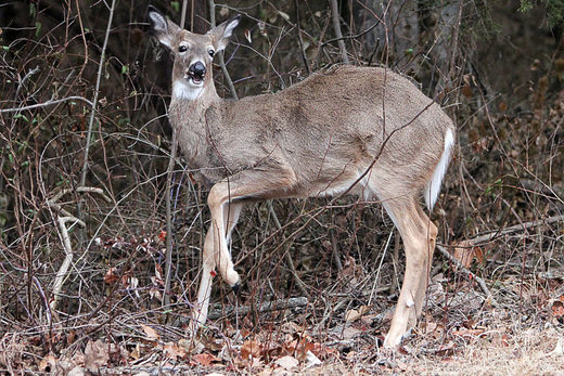 chronic wasting disease deer, deer zombie virus