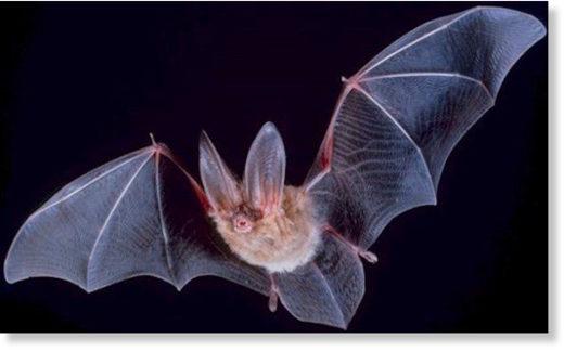 Pentagon bats