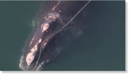 At least 18 North Atlantic right whales have now died in Canadian and U.S. last year and this winter.