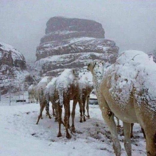 Snow covered camels in Saudi Arabia