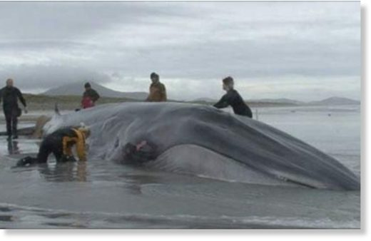 Stranded whale on the beach.
