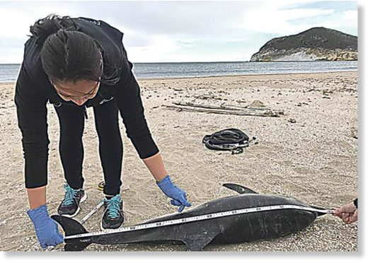 SAD SIGHT: One of the dolphins to become stranded last month.