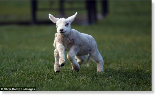 The little lamb has not yet been named and it is unclear if she will undergo surgery