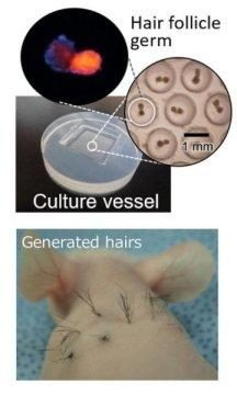 hair folicle generation