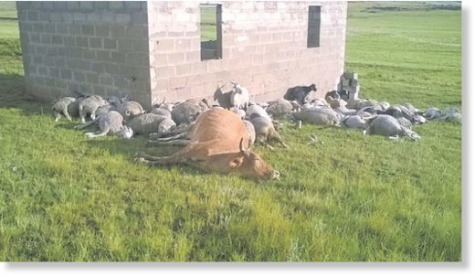 The livestock killed by lightning in Matatiele