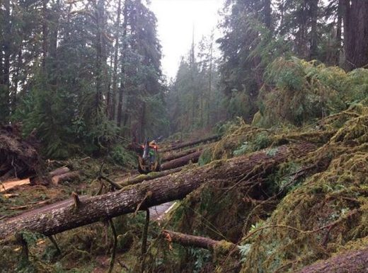 Olympic National Park's unsolved mystery: What caused over 100 trees to fall down in the middle of the night?
