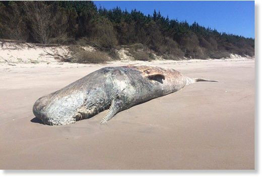 The dead whale found on Papamoa Beach today by John Howlett.