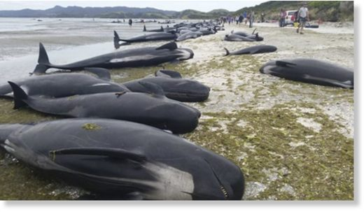 More than two dozen pilot whales died