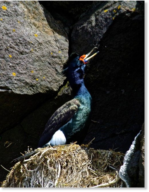 A red-faced cormorant on its nest on St. Paul Island in summer 2015.