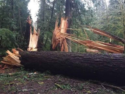 Downed trees in Olympic National Park