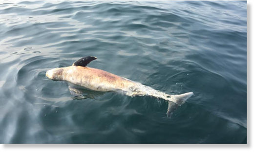 Four finless porpoises were found across Hong Kong