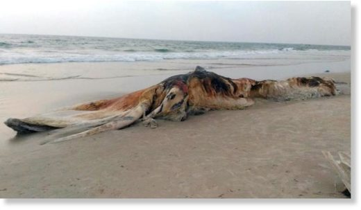 a dead whale washed ashore in a decomposed state on the Doddakopla beach in Surathkal