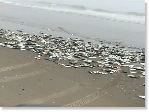 Thousand of menhaden washed ashore early Wednesday.