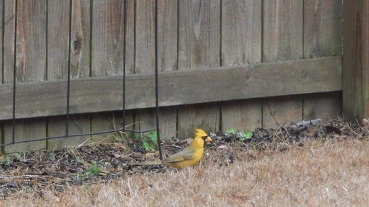Rare '1-in-a-million' Yellow Cardinal sighted in Alabama