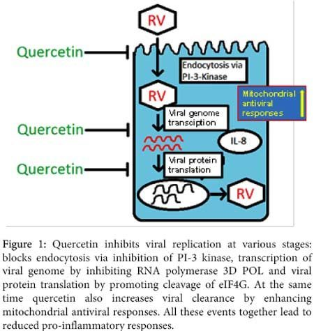 quercitin inhibits viral replication
