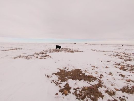 A cow with nothing but rocks to eat at the snow-covered landscape north of Browning.