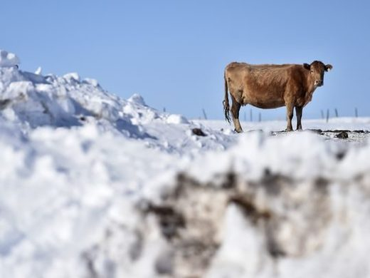 One of Raymond Michaels pregnant cows waiting to be fed on Wednesday February 28, 2018. Michaels, a Cut Bank area rancher, says that the cold weather and snow requires him to feed his cattle more hay and also causes