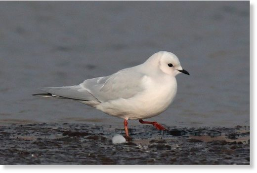 Ross's gull at Lodmoor RSPB (Dorset)