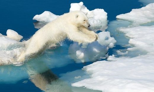 polar bear stradling ice floes