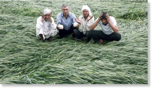 Farmers with damaged mustard crop at a village near Bhiwadi.