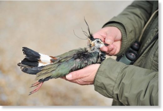 Steve Piotrowski with a lapwing that has died in the extreme weather and been washed up on Thorpeness beach.