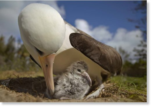 'Albatrosses go to great lengths to feed their young' ... a scene from Albatross.