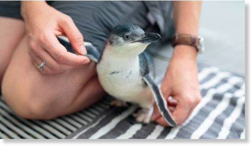 The zoo's blue penguins are re-released into the wild if they are strong enough
