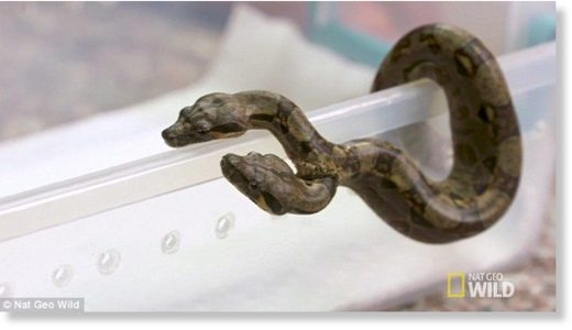 A veterinarian who looked at the animal said she had never seen a two-headed snake among this particular species