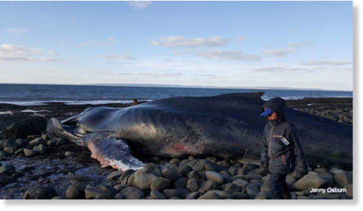 Reid said from pictures, it looks like the whale was on the thin side.