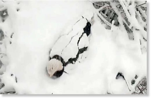 Bald eagle buried in snow